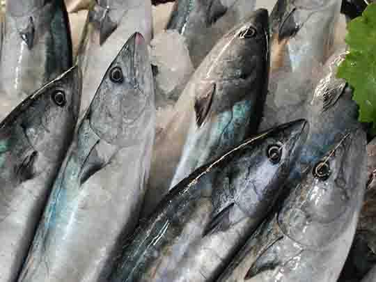 Defneli Palamut Balığı Tarifi